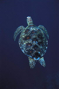 Green turtle swimming {Chelonia mydas} Sulu-Sulawesi seas, Indo Pacific  -  Jurgen Freund