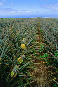 Pineapple crop with ripening fruit {Ananas comosus}growing on La Reunion, Indian ocean  -  Jean E. Roche