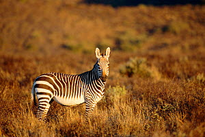 Cape mountain zebra {Equus zebra zebra} Karoo NP, South Africa  -  Andrew Parkinson