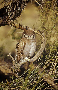 Giant eagle owl {Bubo lacteus} perched with nictating membranes covering eyes, Kgalagadi Transfrontier NP, South Africa  -  Andrew Parkinson