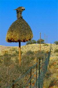 Sociable weaver nest on telegraph pole {Philetairus socius} South Africa - Andrew Parkinson