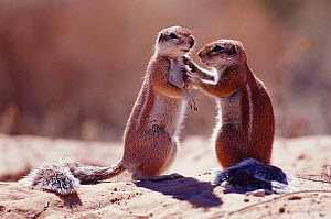 Cape ground squirrels interacting  {Xerus inauris}  Kgalagadi TFP, South Africa  -  Andrew Parkinson