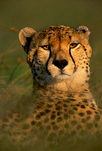 Face portrait of Cheetah {Acinonynx jubatus} Kenya, E Africa  -  Peter Blackwell