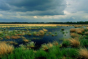 Flat marshland with cotton grass, Dwingelderveld nature reserve, The Netherlands  -  Flip de Nooyer