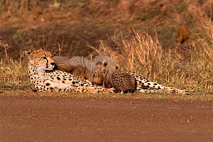 Cheetah suckling cubs by side of track {Acinonyx jubatus} Masai Mara, Kenya  -  Carine Schrurs