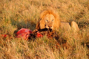 Lion feeding on Wildebeest carcass {Panthera leo} Masai Mara, Kenya  -  Carine Schrurs