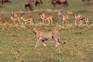 Cheetah walking past Thomson's gazelle herd {Acinonyx jubatus} Masai Mara, Kenya  -  Carine Schrurs