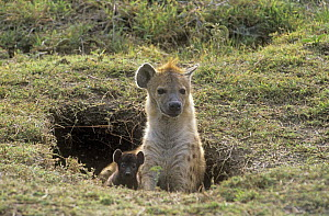 Spotted hyaena (Crocuta crocuta) with cub at den entrance, Masai Mara, Kenya  -  Carine Schrurs