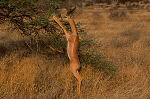 RF- Male Gerenuk (Litocranius walleri) standing on hind legs feeding on Acacia. Samburu National Reserve, Kenya. (This image may be licensed either as rights managed or royalty free.)  -  Carine Schrurs