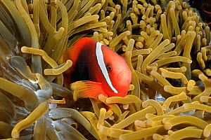 Tomato anemonefish {Amphiprion frenatus} amongst tentacles of Magnificent sea anemone. Batangas, Philippines  {Heteractis magnifica}  -  Carine Schrurs