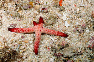 Orange starfish (seastar) regenerating arms {Echinaster luzonicus} Batangas, Philippines  -  Carine Schrurs