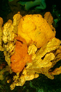 Painted frogfish pair mating {Antennarius pictus} female fish is yellow. Sulawesi, Indonesia  -  Carine Schrurs