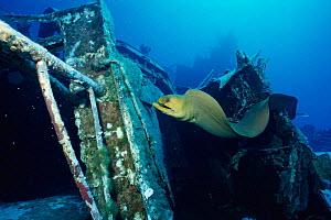 Green moray eel {Gymnothorax funebris} on ship wreck. Cayman brac, BWI, Caribbean. Russian destroyer 356 was sunk in 1996 to create artificial reef.  -  Carine Schrurs