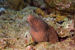 White mouthed moray eel {Gymnothorax meleagris} Bunaken, Sulawesi, Indonesia  -  Carine Schrurs
