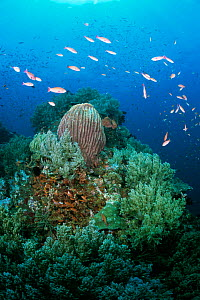 Coral reef scenic with Barrel sponges, soft corals + fish Anilao, Batangas, Philippines  -  Carine Schrurs