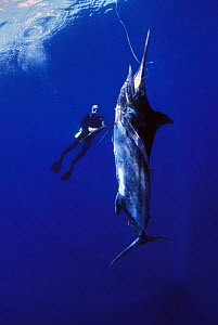 Diver approaching Black marlin {Makaira indica} caught on longline fishing hook, Cocos Island, Costa Rica, Pacific Ocean, WHS Model released.  -  Jeff Rotman
