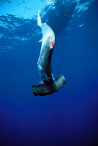 Scalloped Hammerhead shark finned alive and thrown overboard to drown {Sphyrna lewini} previously caught on longline fishing hook, Cocos Island, Costa Rica, Pacific Ocean, WHS  -  Jeff Rotman