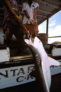Hauling in Oceanic Blacktip shark caught on longline fishing hook {Carcharhinus limbatus} Cocos Island, Costa Rica, Pacific Ocean, WHS  -  Jeff Rotman