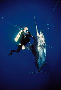 Diver inspecting Black Marlin {Makaira indica} caught on longline fishing hook, Cocos Island, Costa Rica, Pacific Ocean, WHS Model released.  -  Jeff Rotman