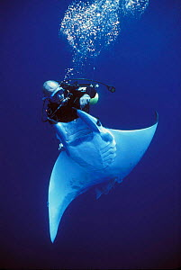 Diver releases hooked Manta Ray {Manta birostris} caught on longline fishing hook, Cocos Island, Costa Rica, Pacific Ocean, WHS Model released.  -  Jeff Rotman