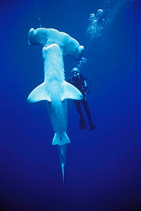 Diver examining hooked Scalloped Hammerhead shark {Sphyrna lewini} caught on longline fishing hook, Cocos Island, Costa Rica, Pacific Ocean, WHS Model released.  -  Jeff Rotman