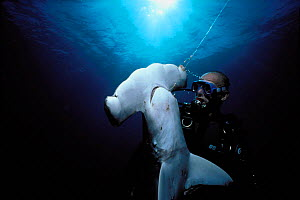 Diver examining dead Scalloped Hammerhead shark {Sphyrna lewini} caught on longline hook, Cocos Island, Costa Rica, Pacific Ocean Model released.  -  Jeff Rotman