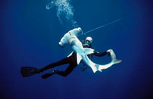 Diver examining Juvenile Scalloped hammerhead shark {Sphyrna lewini} caught on longline hook, Cocos Island, Costa Rica, Pacific Ocean Model released.  -  Jeff Rotman