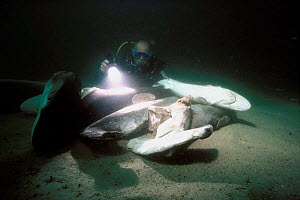 Diver examining shark carcasses on seabed finned alive and thrown overboard to drown, caught on longline hook, Cocos Island, Costa Rica, Pacific Ocean Model released.  -  Jeff Rotman