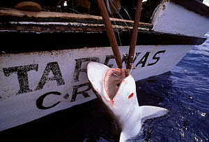 Hauling in Oceanic Blacktip shark onto boat {Carcharhinus limbatus} caught on longline hook, Cocos Island, Costa Rica, Pacific Ocean  -  Jeff Rotman