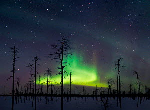 Green aurora borealis colours in night sky, Lapland, northern Finland, winter. Greeen is the most commonly seen colour in Auroras. - Jorma Luhta