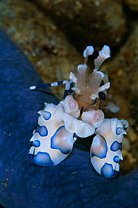 Harlequin shrimp {Hymenocera elegans} feeds on starfish {Linckia laevigata} - Constantinos Petrinos