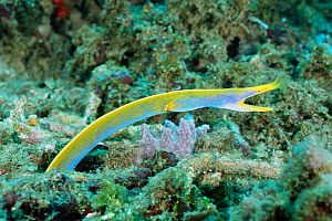 Ribbon eel in male blue phase {Rhinomuraena quaesita} Sulawesi, Indonesia - species is hermaphrodite changing sex from male to female; juveniles are black, male is blue underneath , and final female p...  -  Constantinos Petrinos