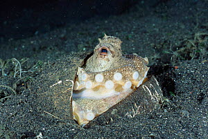 Veined / Marginated octopus {Octopus marginatus} joins two half coconut shells to form complete shell for protection and buries itself in seabed. Shells are found in seabed and dug up and cleaned by o...  -  Constantinos Petrinos