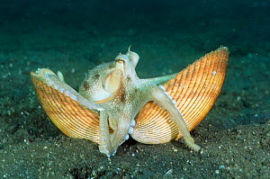 Veined / Marginated octopus {Octopus marginatus} carries shell across seabed before climbing into it for protection. Shells are found in seabed and dug up and cleaned by octopus. Lembeh, Sulawesi, Ind...  -  Constantinos Petrinos