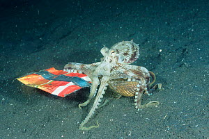 Veined / Marginated octopus {Octopus marginatus} carrying shell across seabed for protection notices crisp bag and collects that too. Lembeh, Sulawesi, Indonesia  -  Constantinos Petrinos
