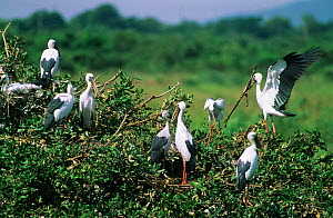 Asian openbill storks {Anastomus oscitans} at nesting colony, Nellapattu, India  -  ASHISH & SHANTHI CHANDOLA