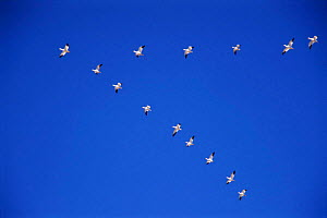 Snow geese fly in V formation {Chen caerulescens} Bosque del Apache, NM, USA.  -  Tom Vezo