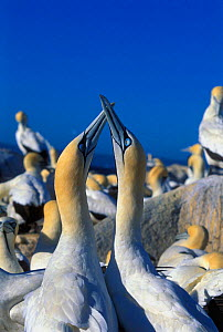 Cape gannets courtship display  {Morus capensis} Malgas Is, South Africa - Georgette Douwma