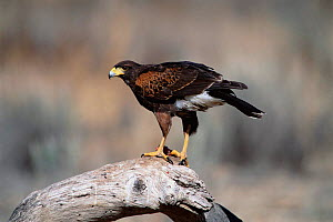 Harris hawk perched {Parabuteo unicinctus} Tucson, Arizona, USA  -  Tom Vezo
