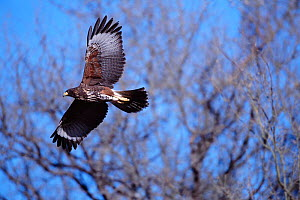 Harris hawk in flight {Parabuteo unicinctus} Tucson, Arizona, USA  -  Tom Vezo
