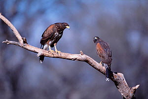 Harris hawk pair {Parabuteo unicinctus} Tucson, Arizona, USA  -  Tom Vezo