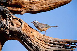 Cactus wren {Campylorhynchus brunneicapillus}  Green valley, Arizona, USA  -  Tom Vezo
