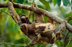 Brownthroated / Three-toed sloth carrying young {Bradypus variegatus} Brazil.  -  Staffan Widstrand