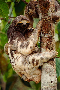 Brownthroated / Three-toed sloth carrying young up tree {Bradypus variegatus} Rio Negro, Brazil, South America  -  Staffan Widstrand