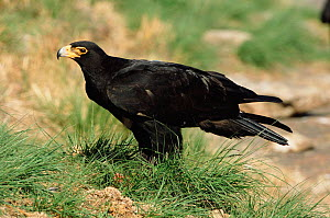 Verreaux's eagle / Black eagle {Aquila verreauxii} South Africa  -  John Cancalosi