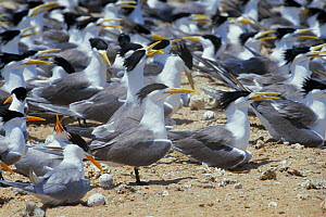Crested & Lesser crested terns nesting {Thalasseus bergii & bengalensis} Persian Gulf, Iran  -  Mark Yates