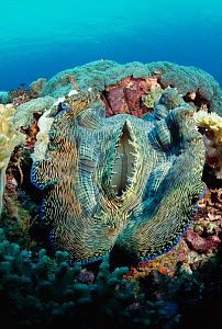 Giant clam {Tridacna gigas} biggest bivalve species in world, Sulawesi Indonesia. Hermaphrodite producing both eggs and sperm  -  Constantinos Petrinos