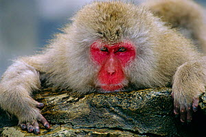 Japanese macaque portrait {Macaca fuscata} Jigokudani, Japan  -  David Pike