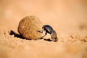 Flightless dung beetle {Circellium bacchus} female rolling buffalo dung ball to lay egg in , Addo Elephant park, South Africa - Andrew Parkinson