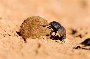 Flightless dung beetle {Circellium bacchus) female rolling buffalo dung to lay egg in S Africa - Andrew Parkinson